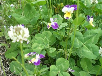 魚沼の雑草の花