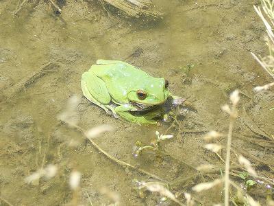 魚沼のカエル