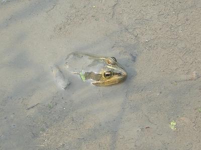 魚沼のトノサマガエル