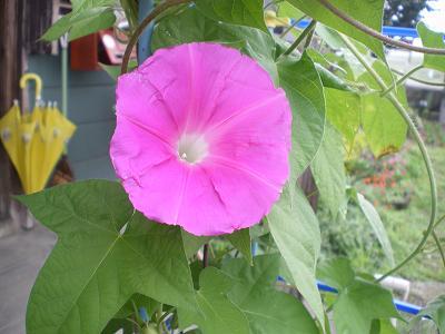 咲いたよ!朝顔の花