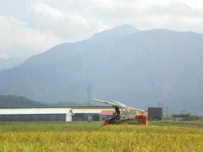 魚沼産コシヒカリ、稲刈り日和