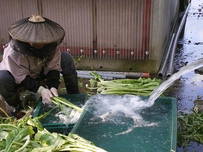 魚沼では、かぶ菜洗いです。