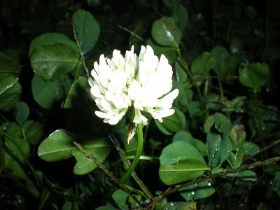 魚沼でのシロツメクサの花
