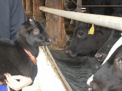 仔ヤギと仔牛