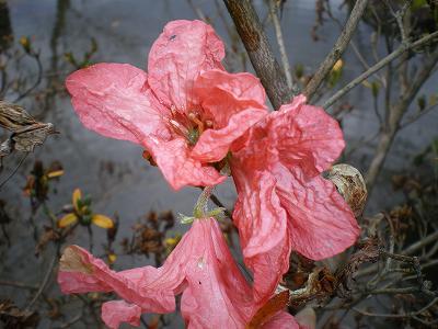 12月のつつじの花