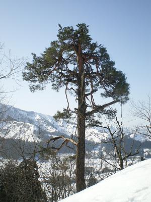 雪国の山の松