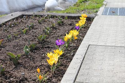 咲いた、咲いた・・・クロッカスの花