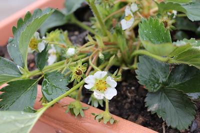 プランターの苺の花