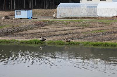 魚沼の蓮池の鴨