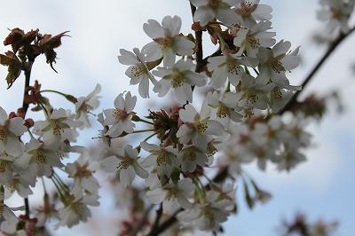 魚沼の桜の花