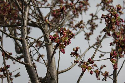 魚沼の桜はまだつぼみ