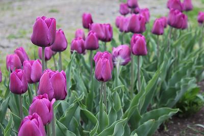 咲いた咲いた、紫色