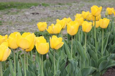 咲いた咲いた、黄色