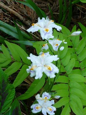 魚沼の山の花