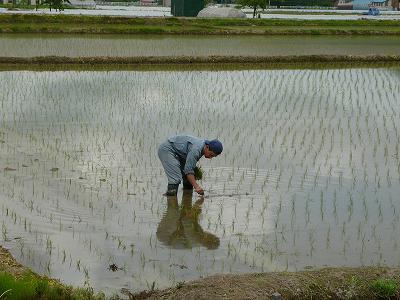 魚沼産コシヒカリの田植え(補植)