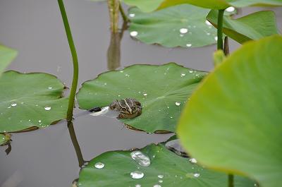 蓮池のカエル