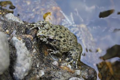 山にいたカエル