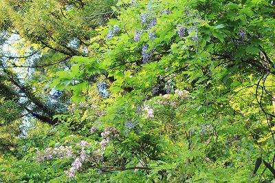魚沼の藤の花とうつぎの花