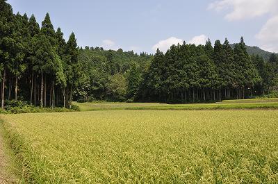 五百万石(酒米)の田んぼ