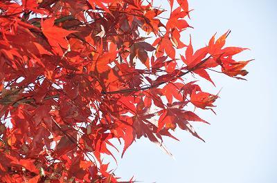 秋晴れ・・・もみじ