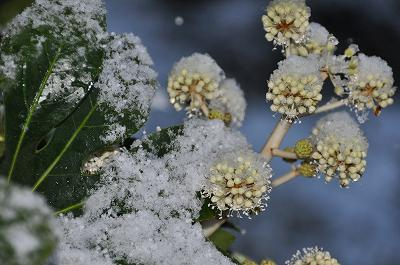 ヤツデの花も初雪