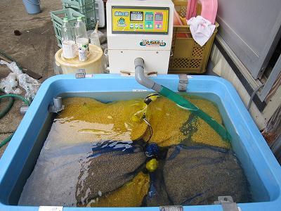 魚沼産コシヒカリの種籾の芽だし