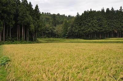 門前区 井平(いだいら)の稲