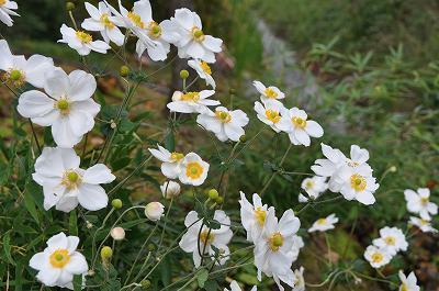 秋明菊(シュウメイギク)白色