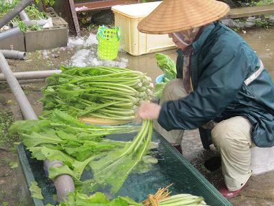カブ菜洗い