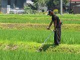 魚沼産コシヒカリの田んぼでの草刈り作業の様子
