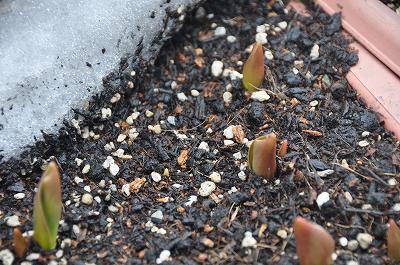 プランターのチューリップの芽