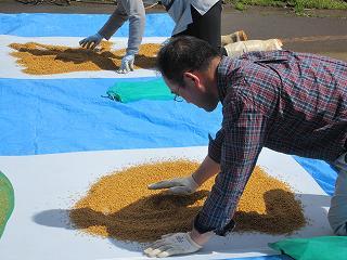 籾蒔き(すじまき)