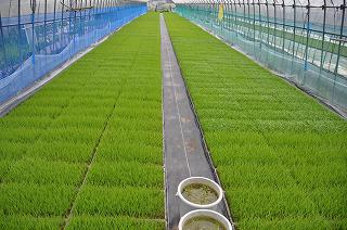 魚沼産コシヒカリと五百万石の苗
