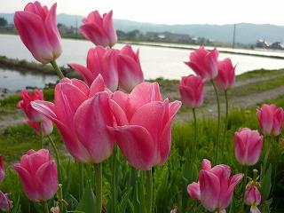 ピンクと白の2色咲き