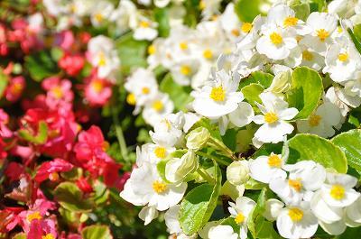 通学路の花壇の花(ベゴニア)