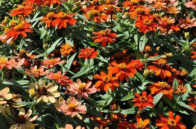 通学路の花壇の花(百日草)