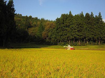 魚沼産コシヒカリの稲刈り