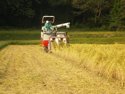 稲刈り(9月~10月)