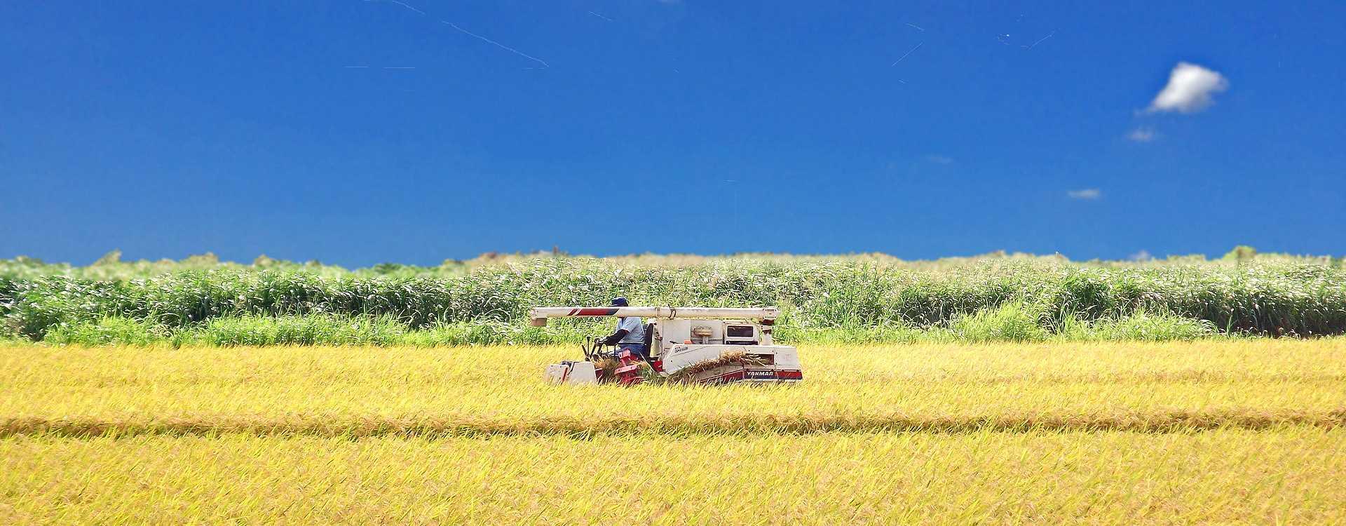 魚沼産コシヒカリの稲刈り風景